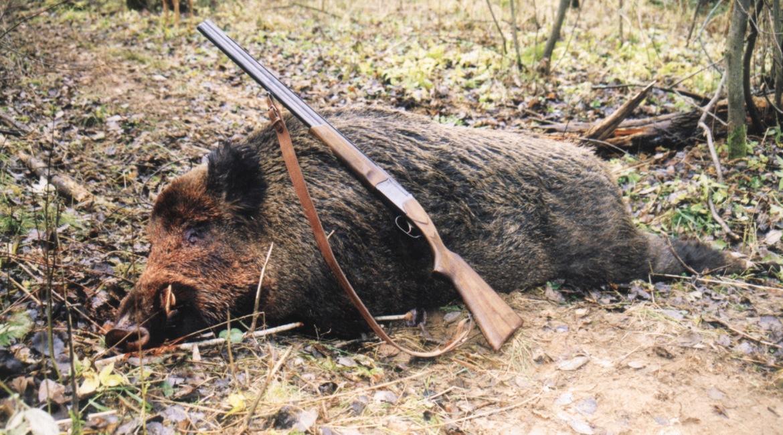 Правила охоты на кабана