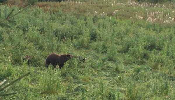Медведь на поле