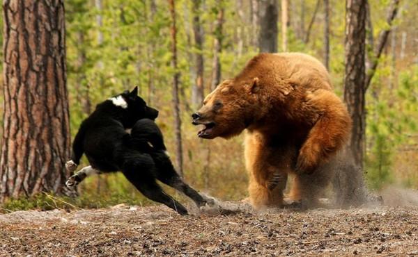 Собака сердит дикого зверя