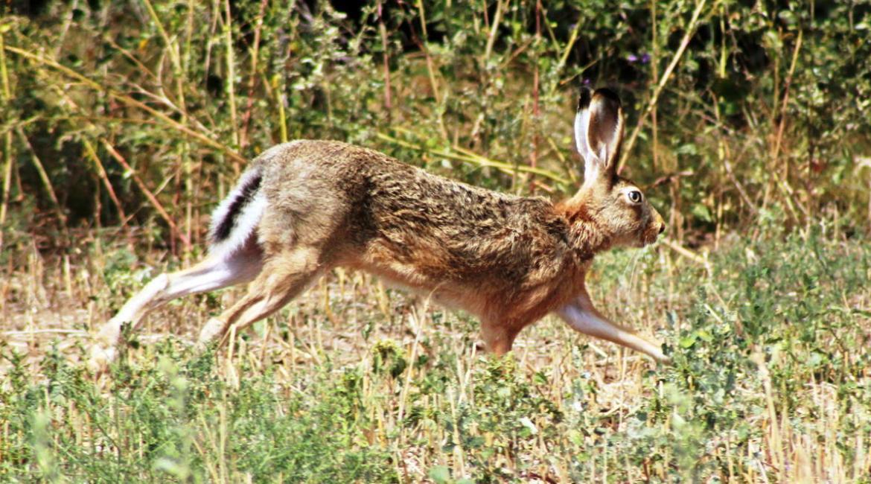 Правила охоты на зайца
